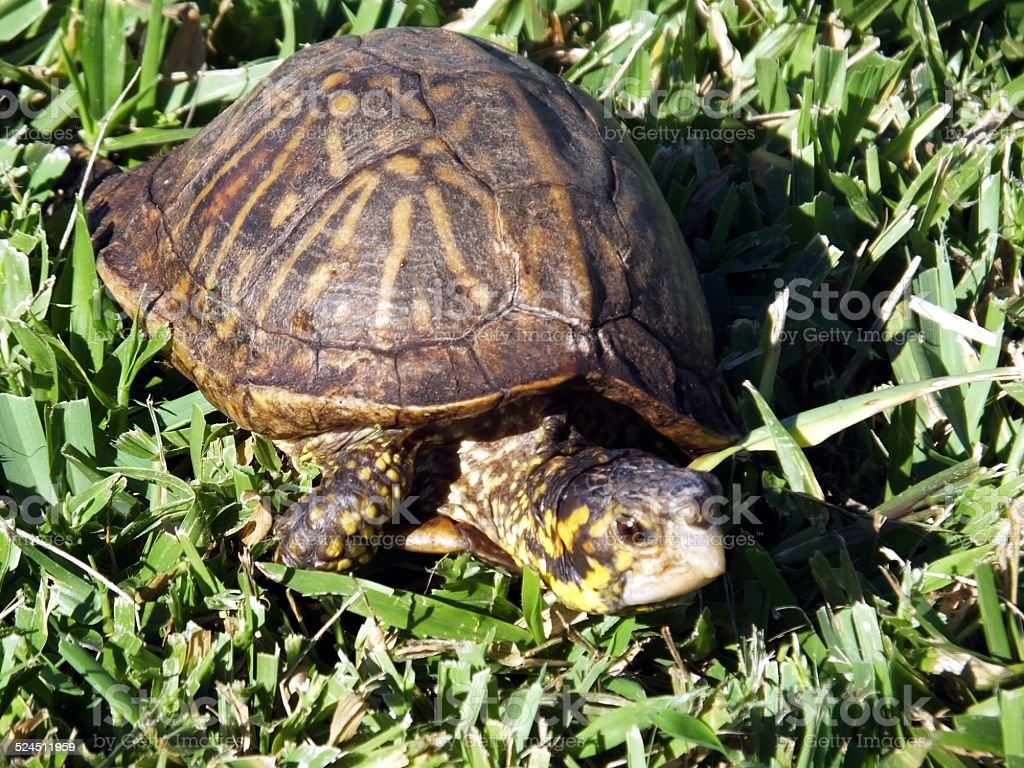 Florida  Box Turtle (Terrapene carolina bauri) stock photo