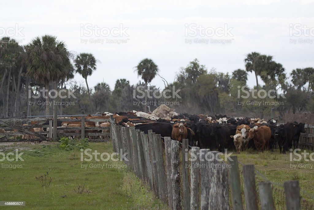 Florida Cattle Drive stock photo