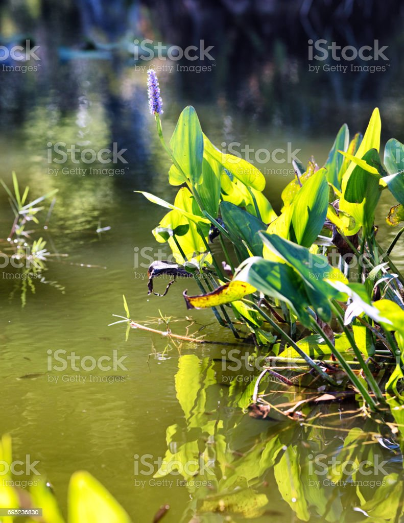Florida Everglades pickerelweed in swampy muddy waters stock photo