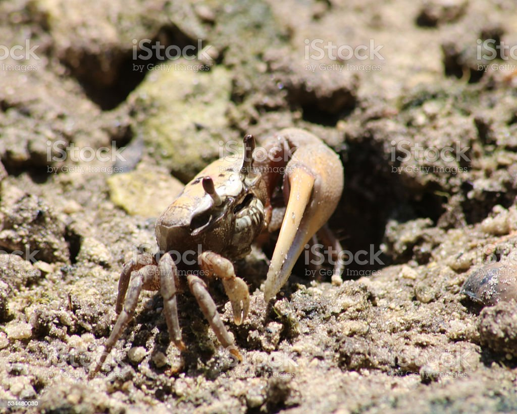 Florida fiddler crab photo libre de droits