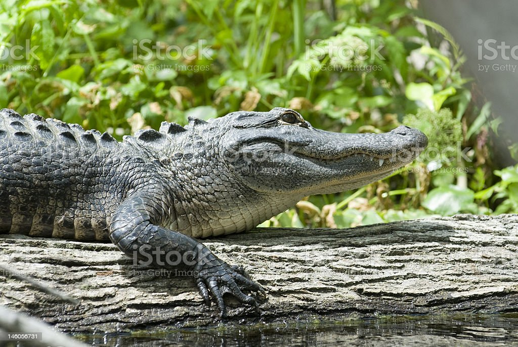 Florida Gator on a log stock photo