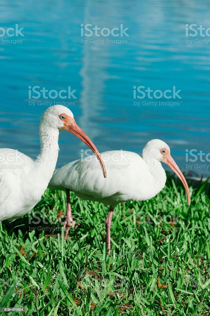 Florida Ibis Birds Walking in Grass Lake Eola Orlando stock photo