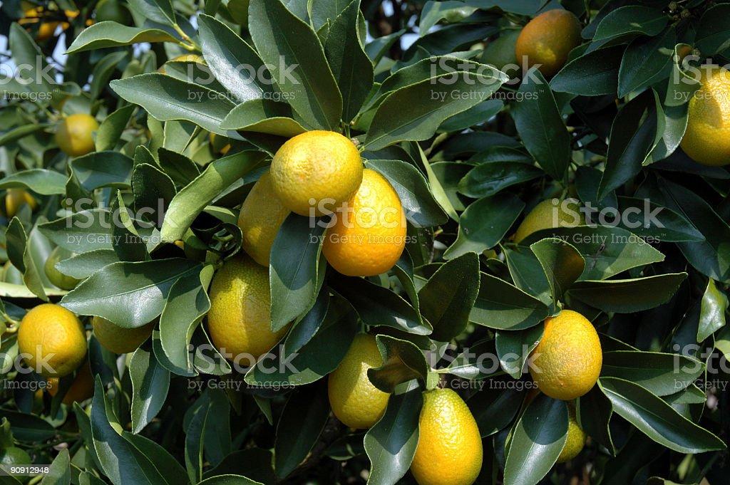 Florida Key Limes stock photo