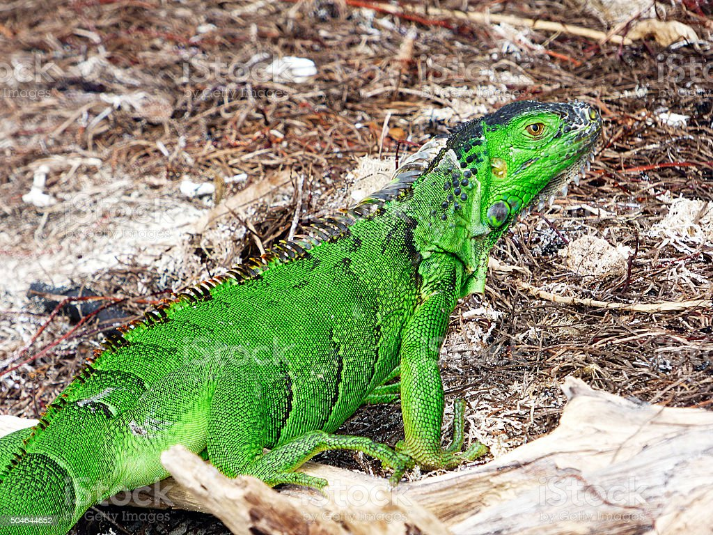 Florida keys. Bahia honda state park, green iguana stock photo