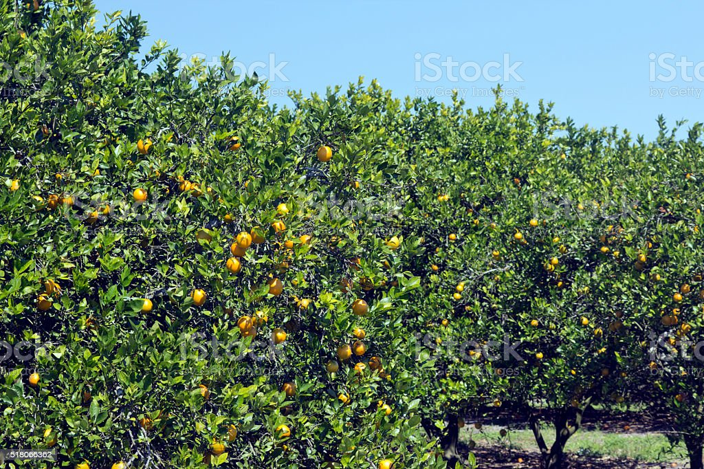Florida Orange Grove stock photo