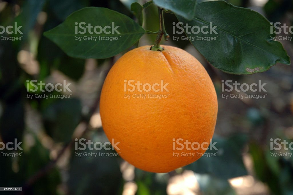 Florida Orange royalty-free stock photo