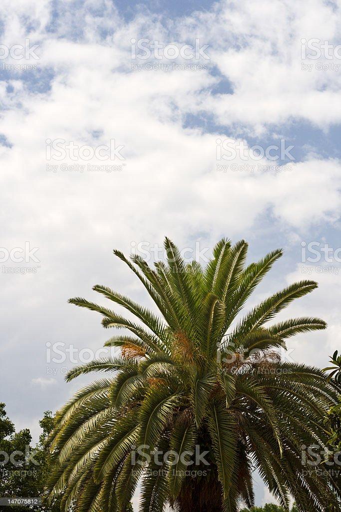 Florida Palm Tree royalty-free stock photo