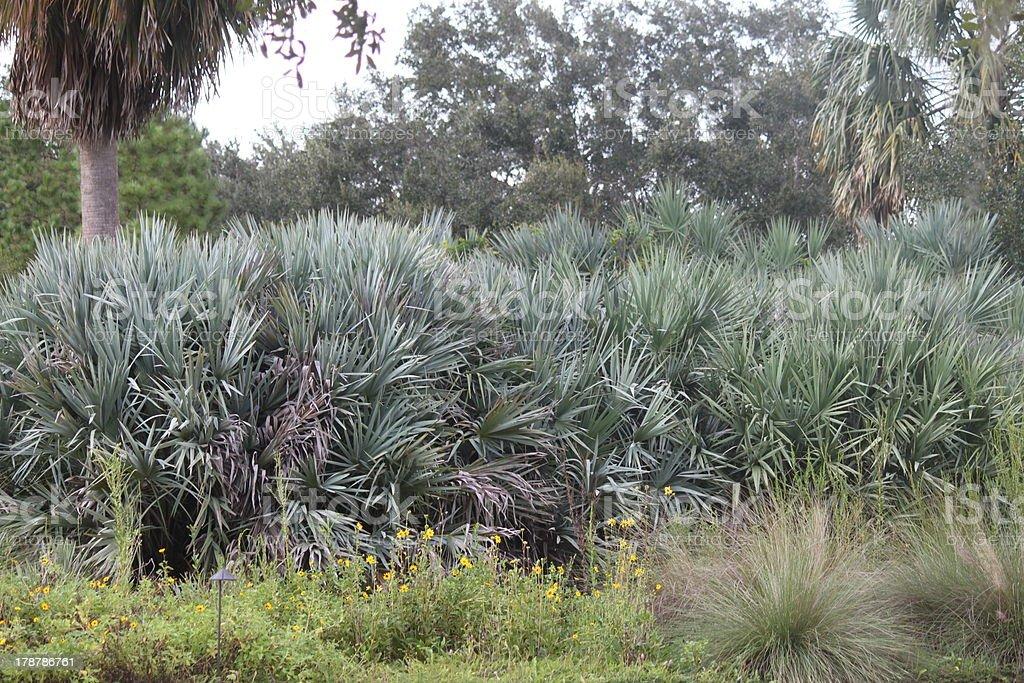 Florida palmetto landscape royalty-free stock photo