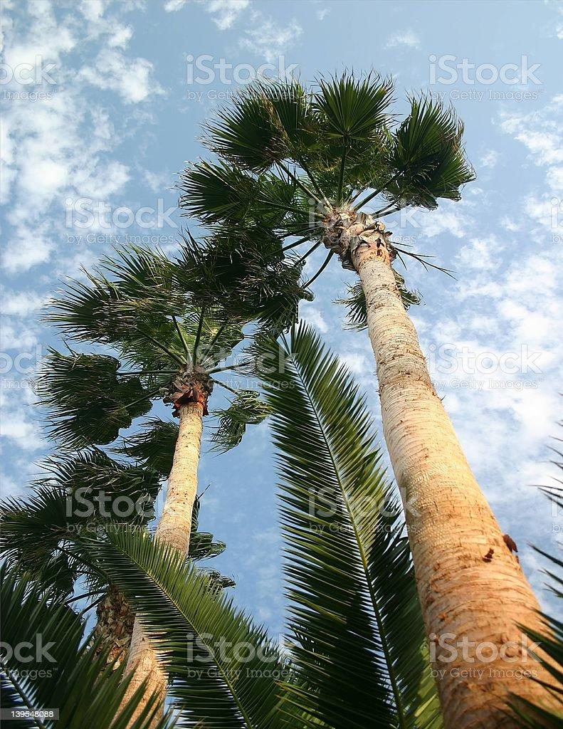 Florida Palms royalty-free stock photo