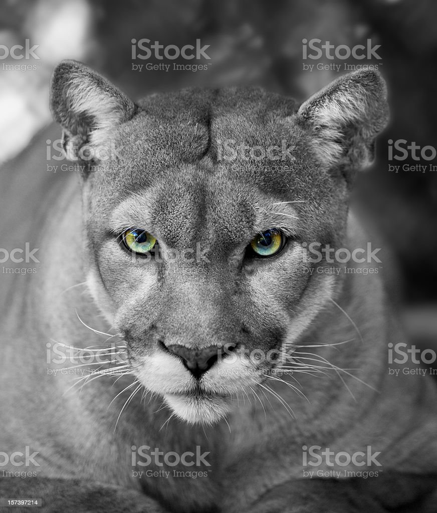 Florida Panther Black & White Eyes in Color royalty-free stock photo