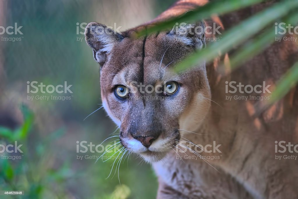 Florida Panther stock photo