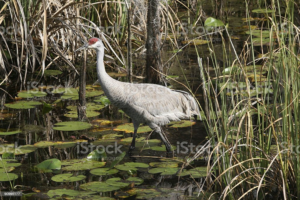 Florida Sandhill crane stock photo