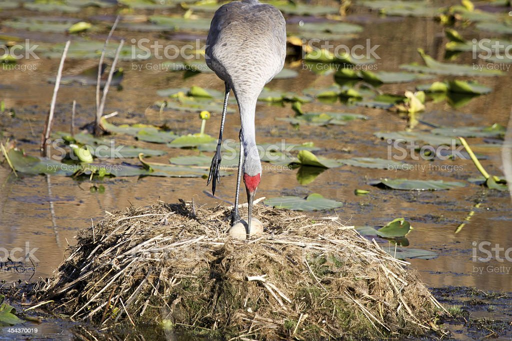 Florida Sandhill Crane Rolls Eggs stock photo