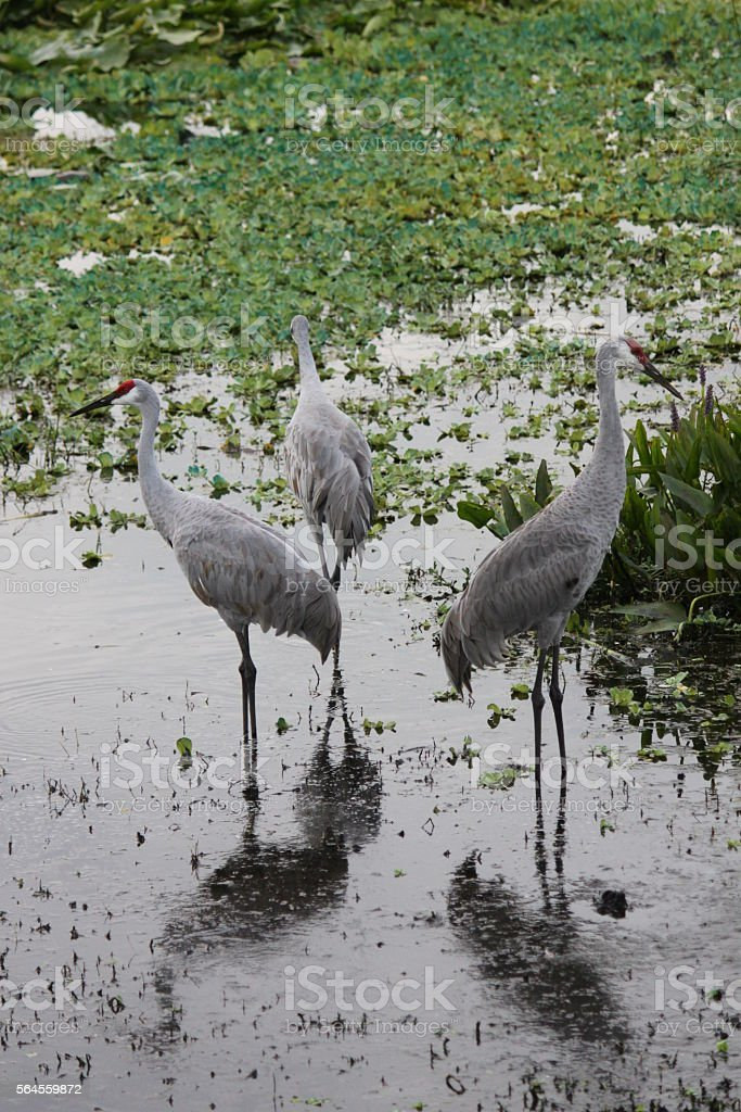 Florida Sanhill Cranes stock photo