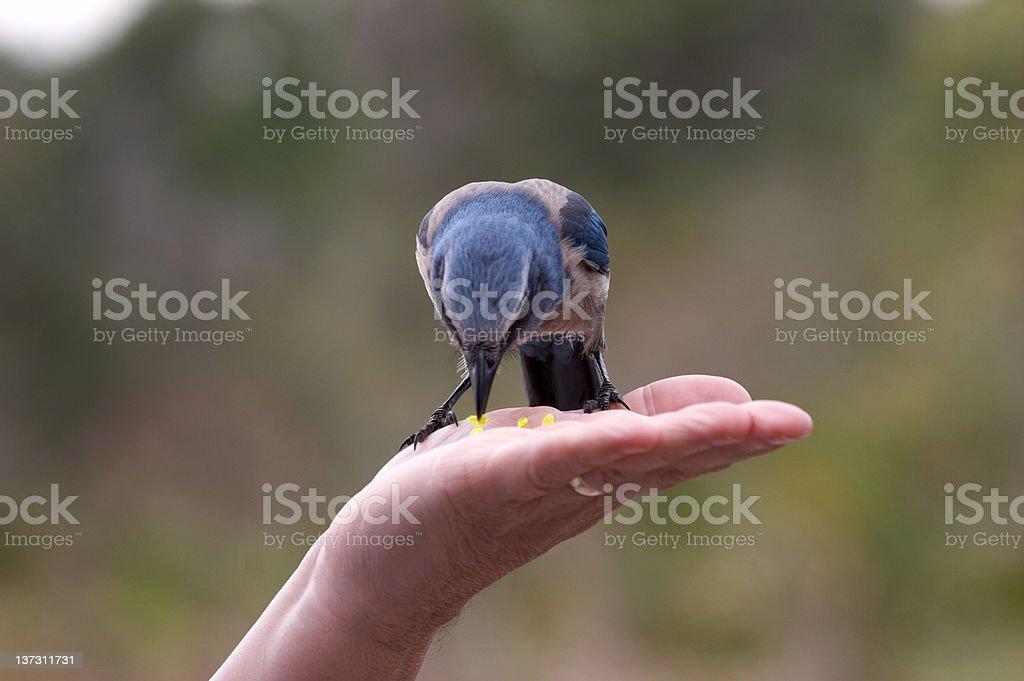 Florida scrub jay hand feeding stock photo