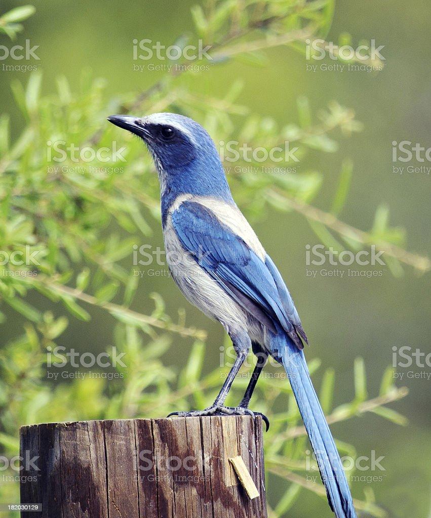 Florida Scrub Jay stock photo