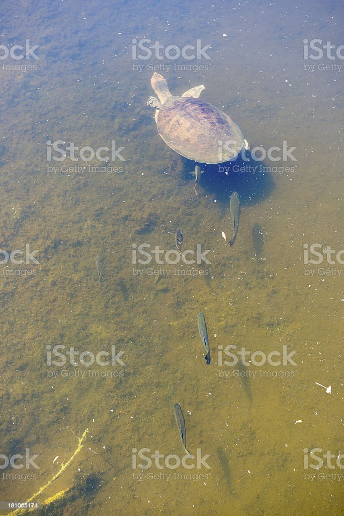 Florida softshell turtle and fish - leadership concept stock photo