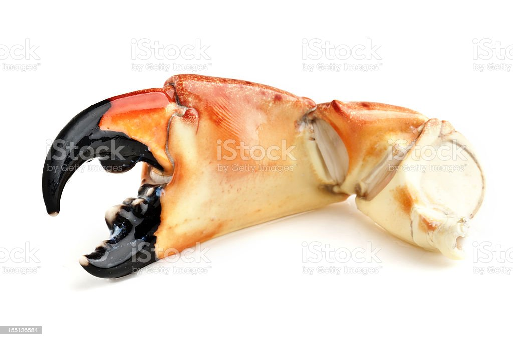 Florida Stone Crab stock photo