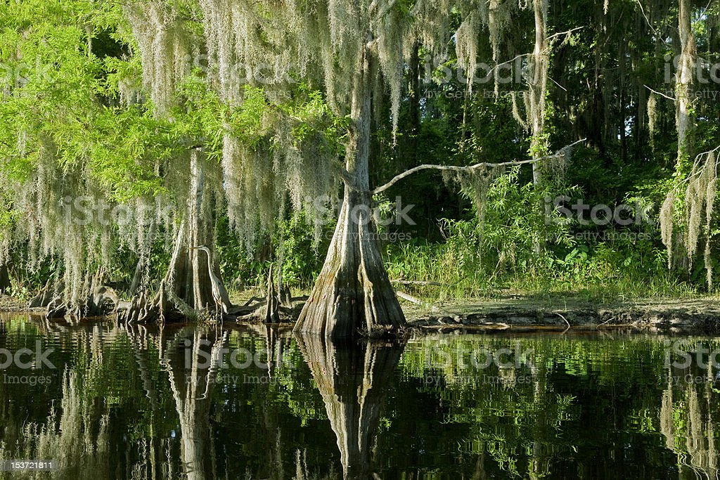 Florida swamp landscape with cypress stock photo