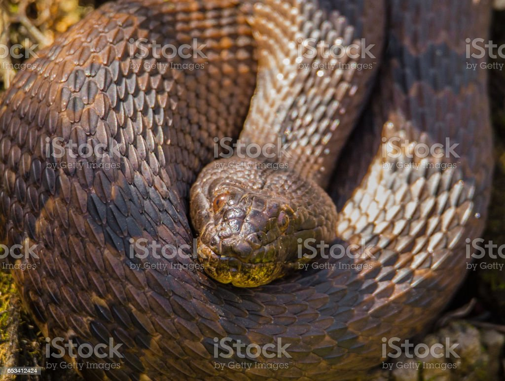 florida water moccasin snake stock photo