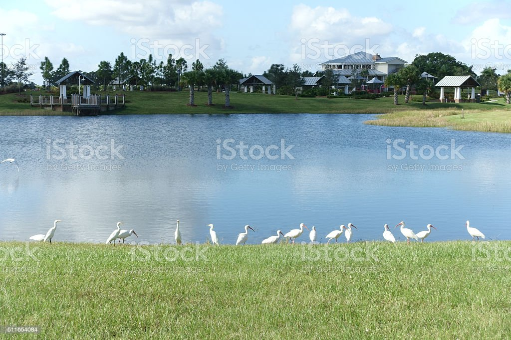 Florida white ibis birds near pond at park stock photo