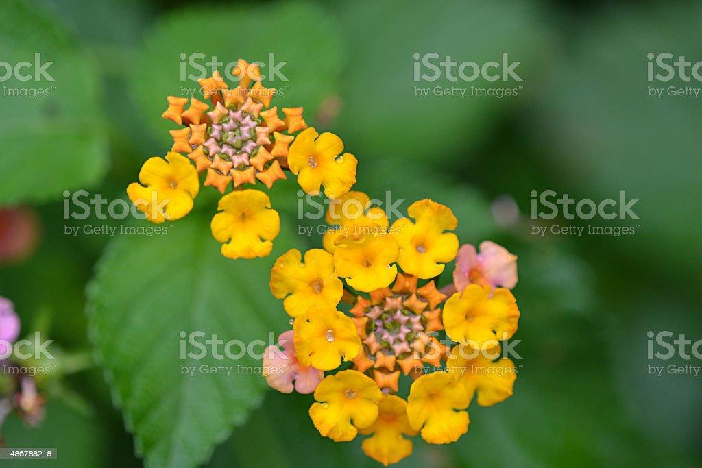 Florida Wild Flower stock photo