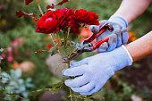 Florist prepares roses for decoration