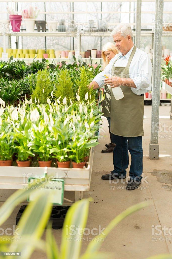 Florist sprinklers flowers in greenhouse royalty-free stock photo