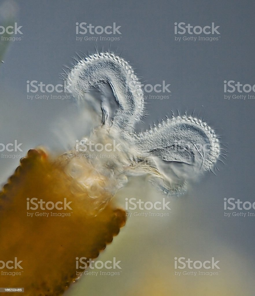 Floscularia - rotifer stock photo