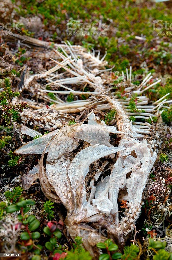 flounder fish skeleton in green grass background stock photo