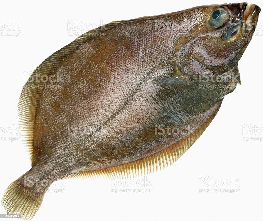 Flounder on white stock photo
