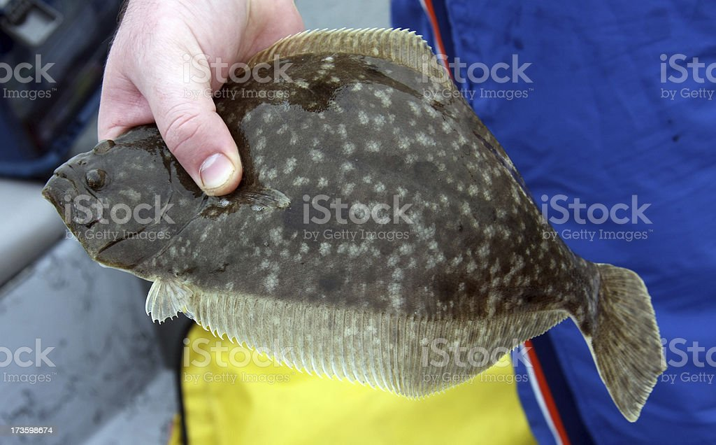 Flounder royalty-free stock photo