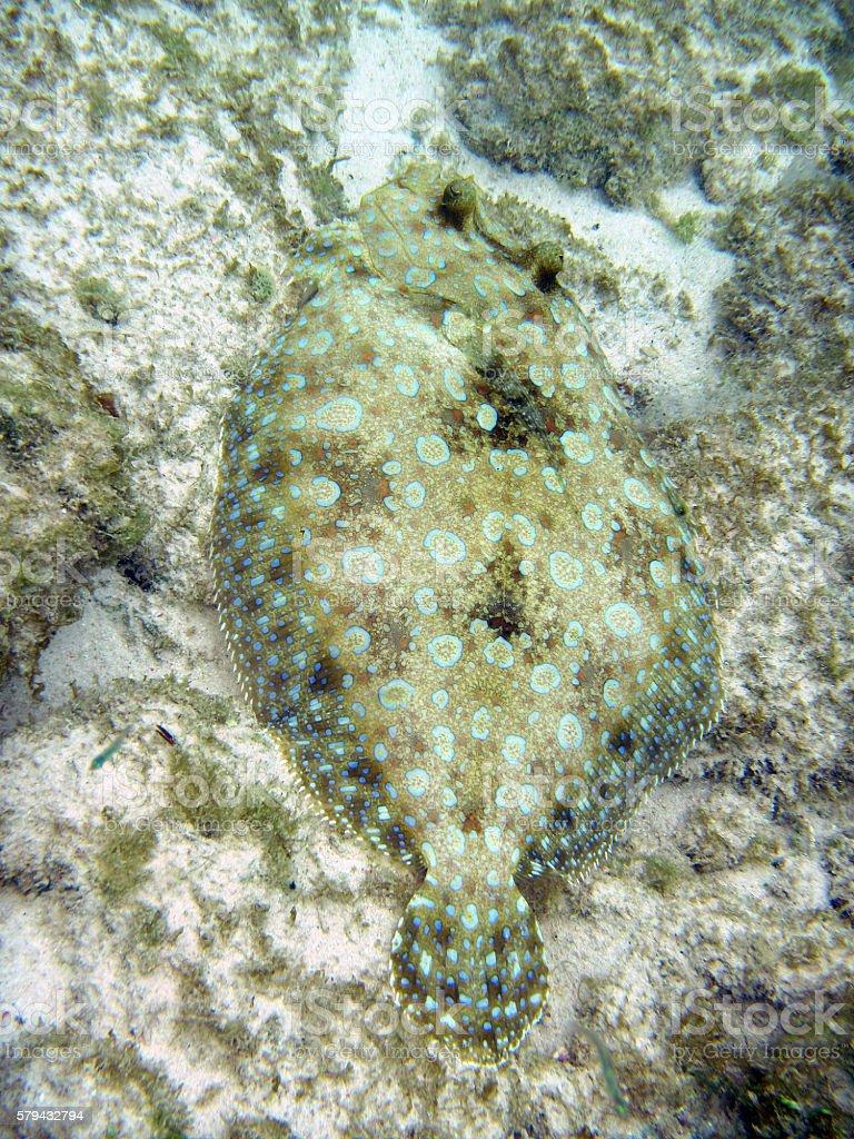 flounder_camouflage stock photo