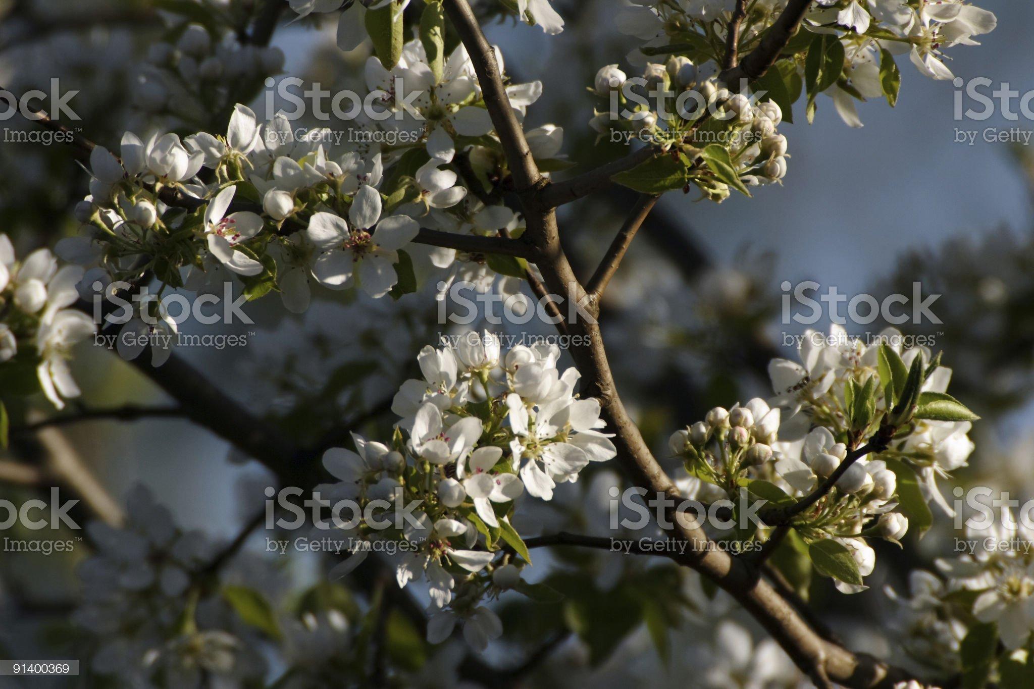 flourishing apple-tree royalty-free stock photo