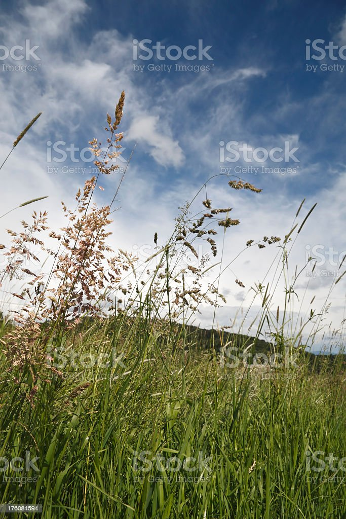 Flourishing green grass meadow landscape - allergy time royalty-free stock photo