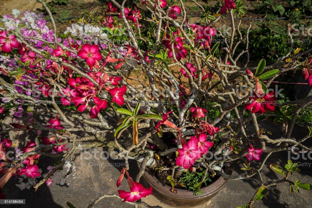 Flower Adenium stock photo
