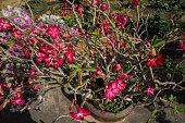 Flower Adenium