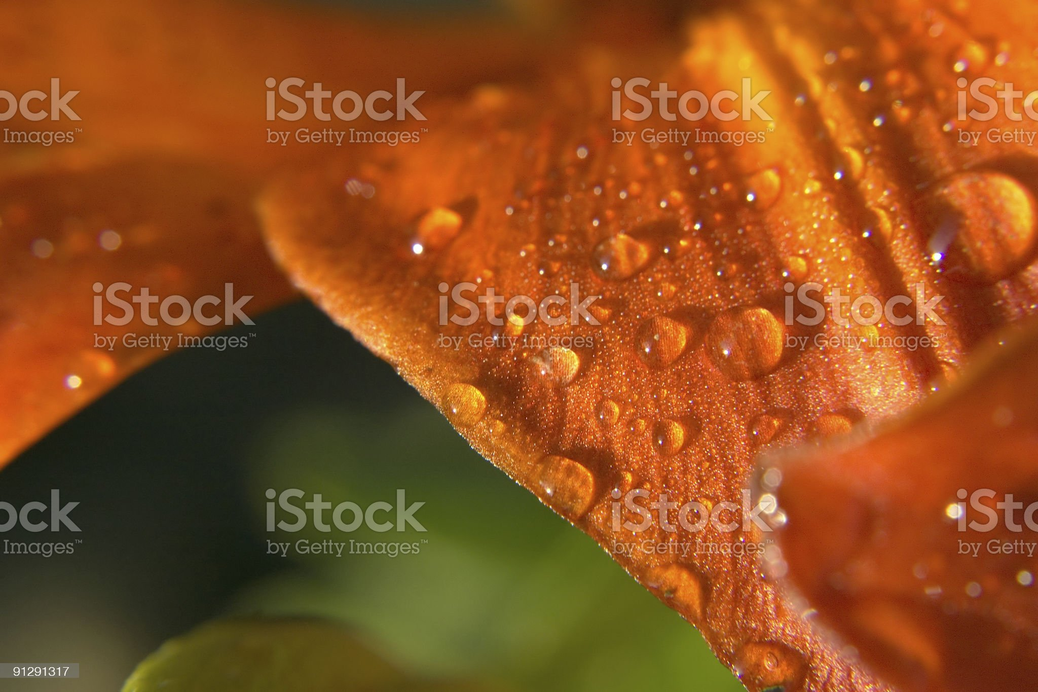 flower after rain royalty-free stock photo