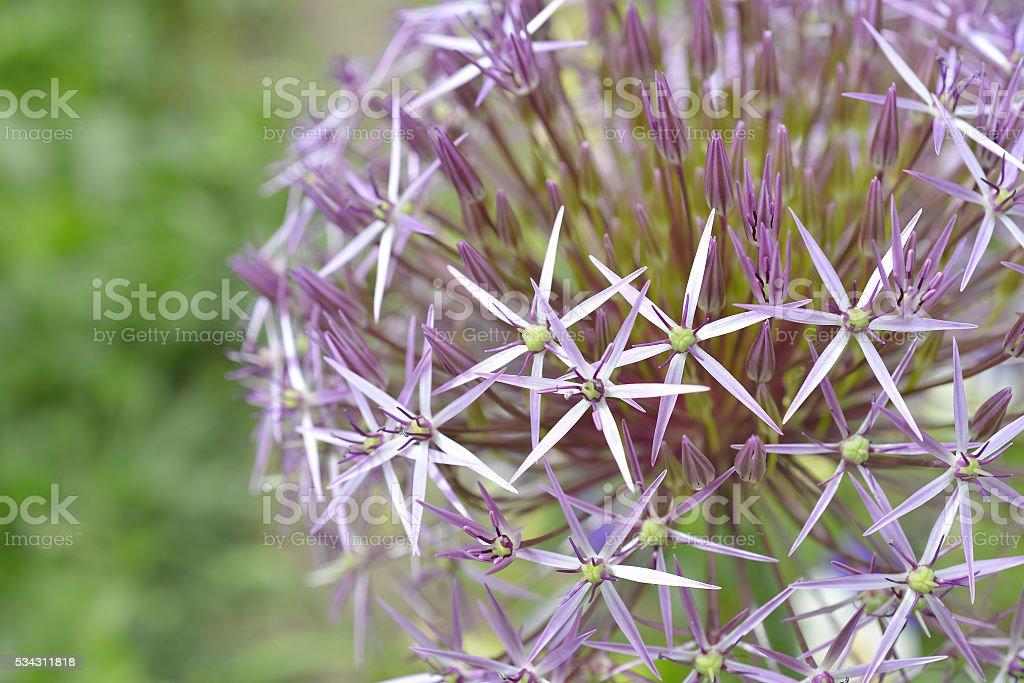 Flower Allium nutans Purple. Onions stock photo