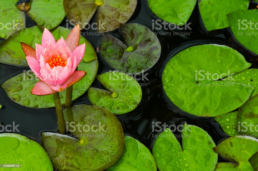 Flower Amoung Lily Pads stock photo