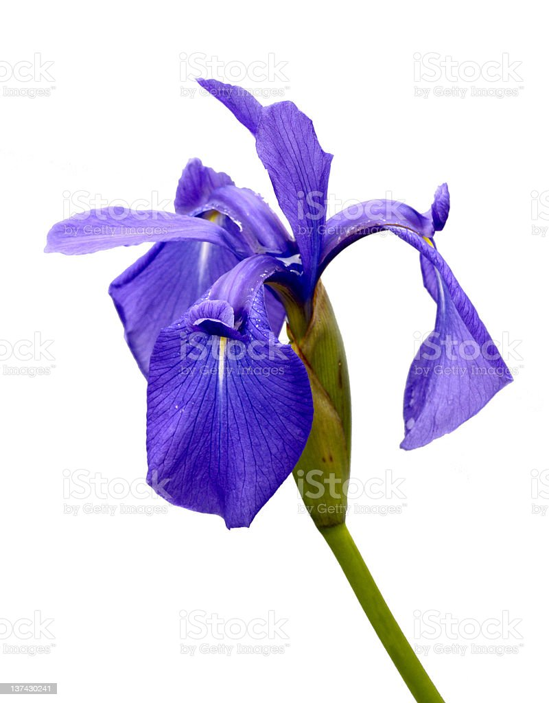 Flower an iris is isolated stock photo