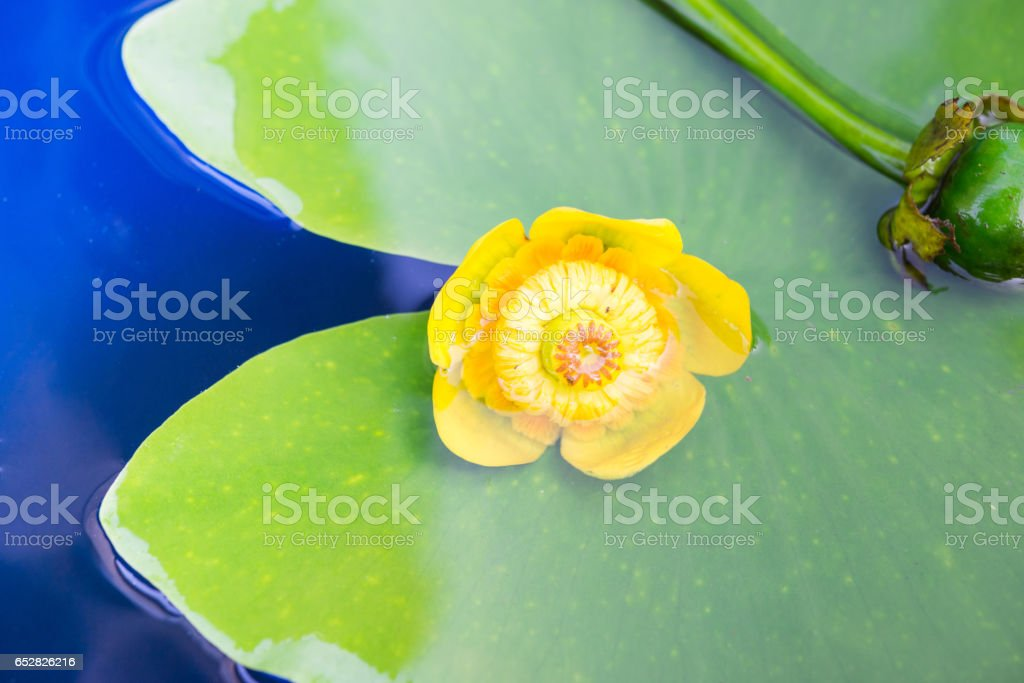 Flower and bud. Yellow water lily (Nuphar lutea). stock photo