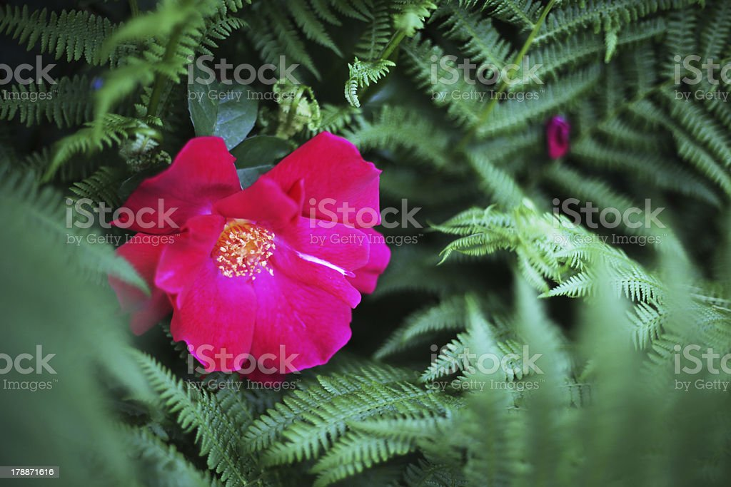 Flower and fern royalty-free stock photo
