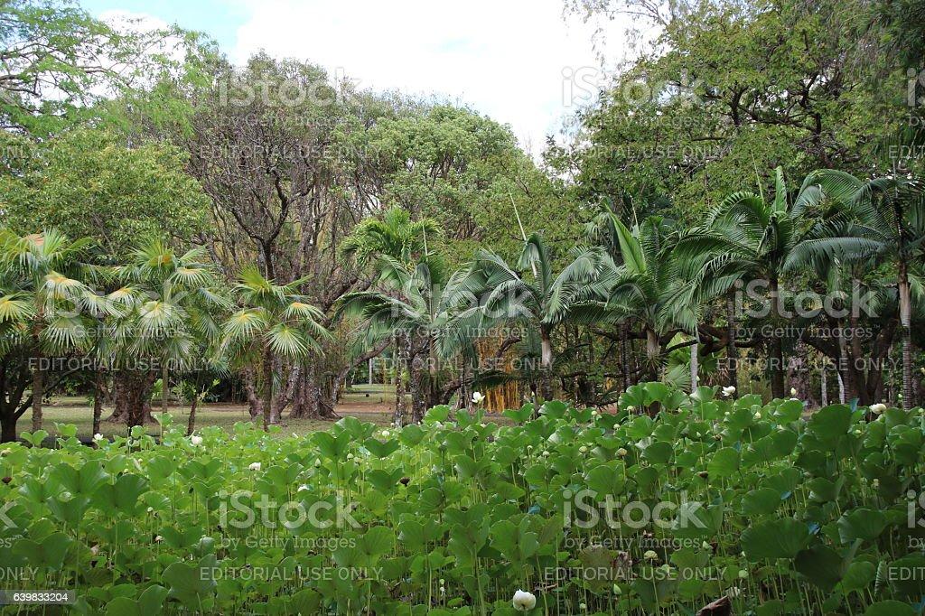 Flower and Fruit of Indian Lotus, Nelumbo nucifera, Mauritius stock photo