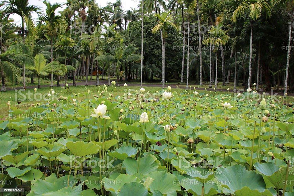Flower and Fruit of White Indian Lotus, Nelumbo nucifera, Mauritius stock photo