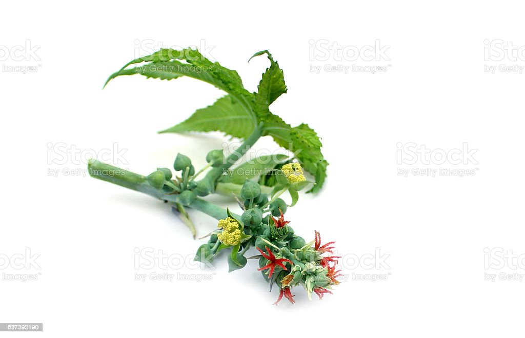 Flower and leaf of the castor plant stock photo