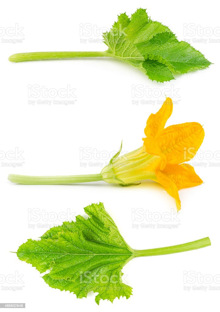 Flower and leaf of zucchini isolated stock photo