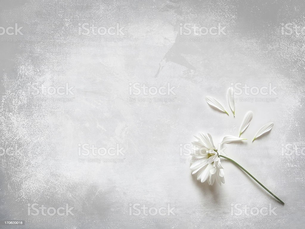 Flower and loose petals - She loves me not.... stock photo