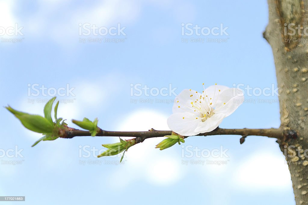Flower Apricot tree on branch royalty-free stock photo