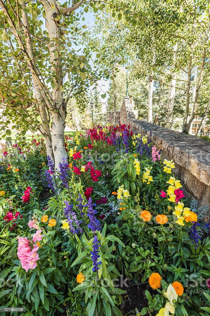 Flower bed near Aspen Trees in Vail, Colorado stock photo